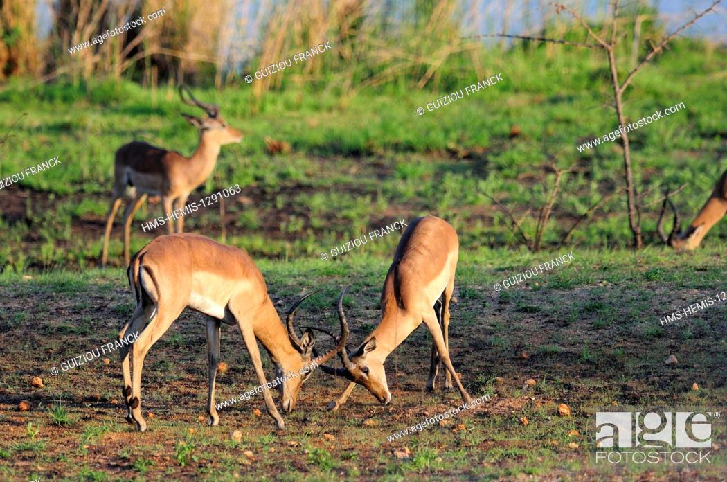 Imagen: South Africa, Mpumalanga region, the South Kruger National Park, impala (Aepyceros melampus).