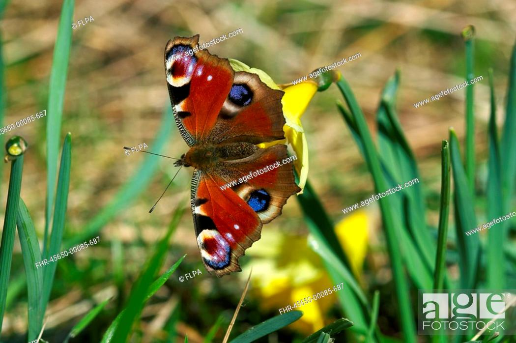 Stock Photo: Peacock Butterfly Inachis io adult, feeding on Wild Daffodil Narcissus pseudonarcissus in garden, England, summer.