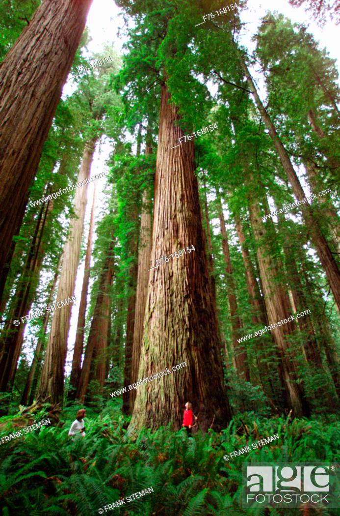 Stock Photo: Giant Redwoods. Stout Grove. Jedediah Smith Redwoods State Park. California. USA.