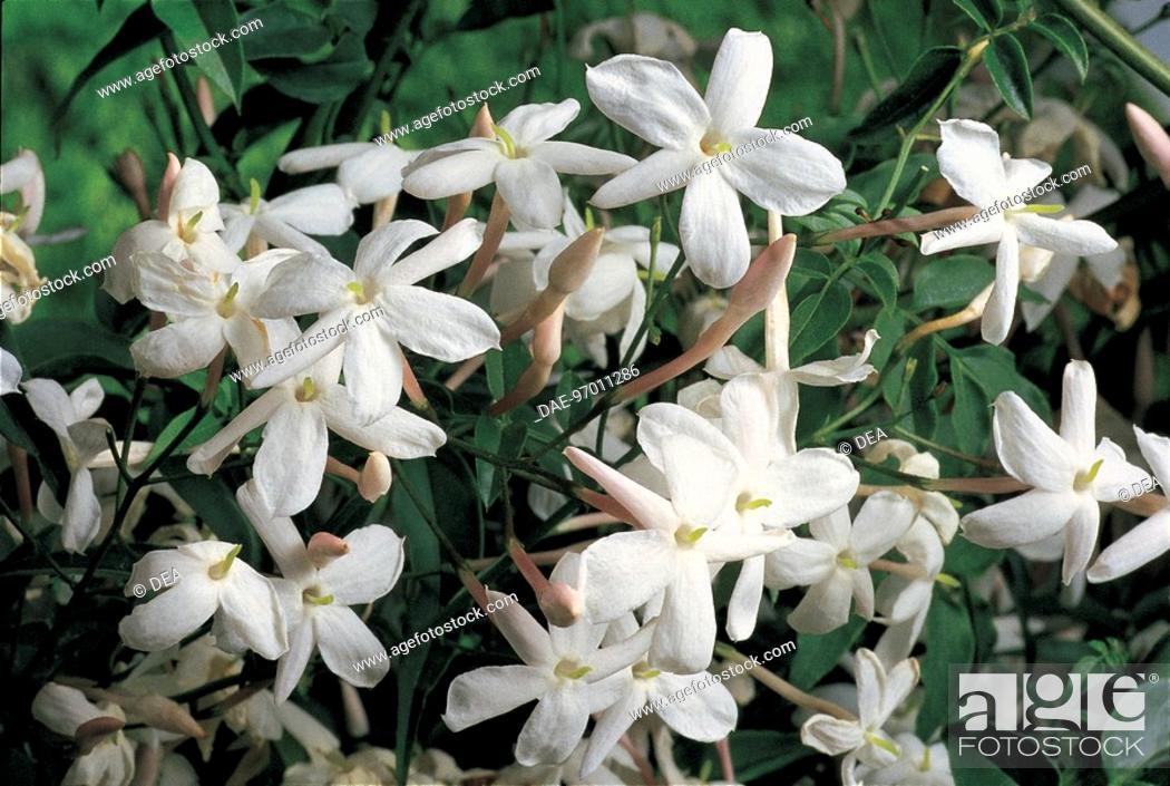 Stock Photo: Botany - Oleaceae. Poet's jasmine (Jasminum officinale).
