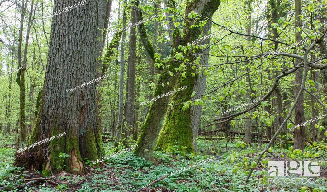 Stock Photo: Natural deciduous forest in springtime with old linden tree in foreground, Bialowieza Forest, Poland, Europe.