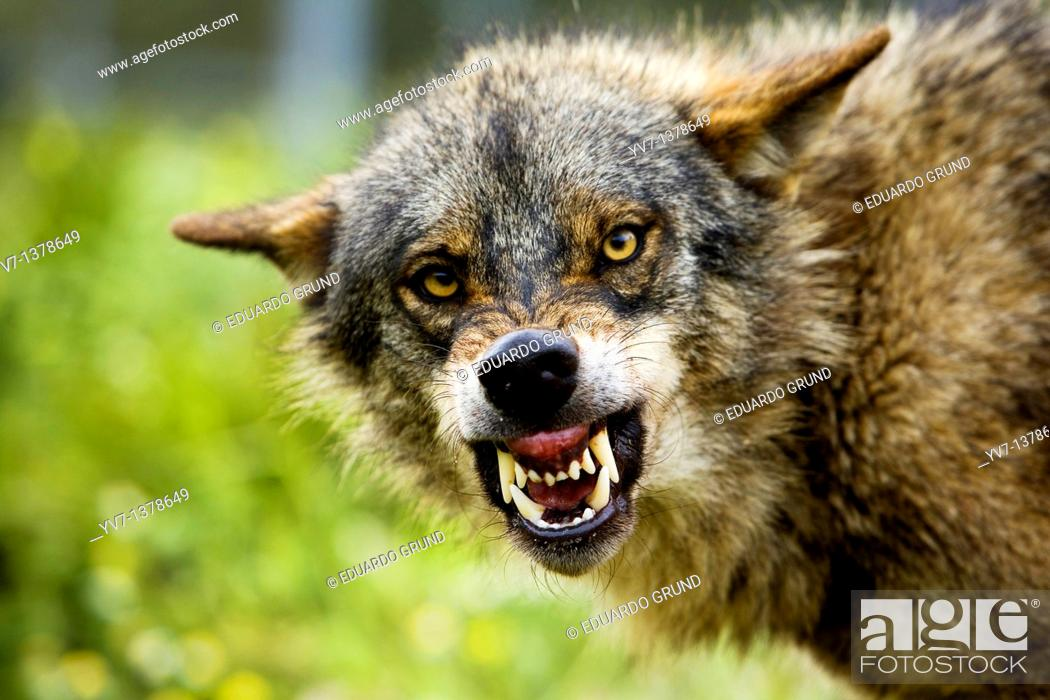 Stock Photo: A wolf with an expression of aggression to other components of the pack for food dispute  Wolf park, Antequera, Malaga, Andalusia, Spain.