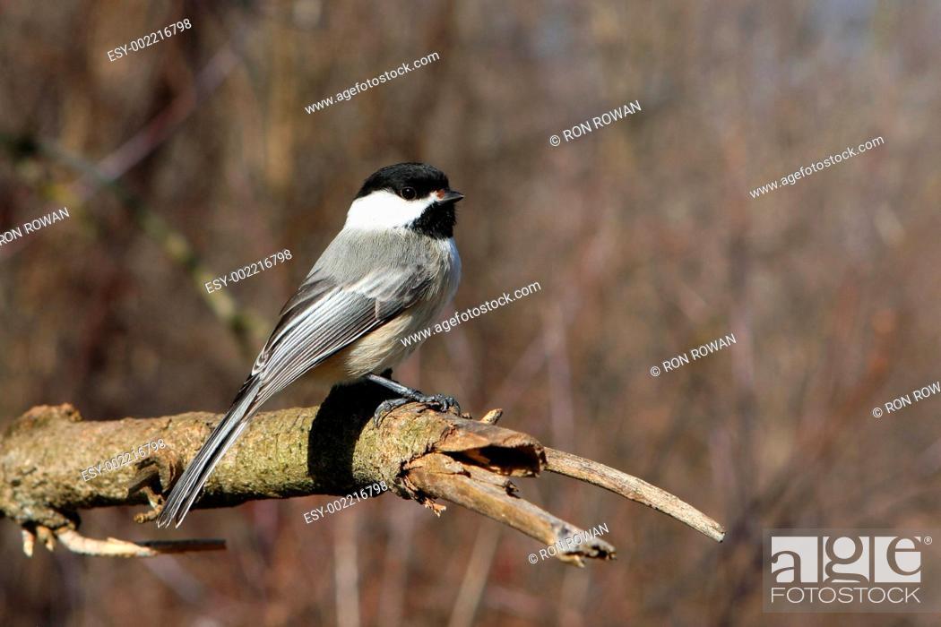 Stock Photo: Black-capped Chickadee Poecile atricapillus.