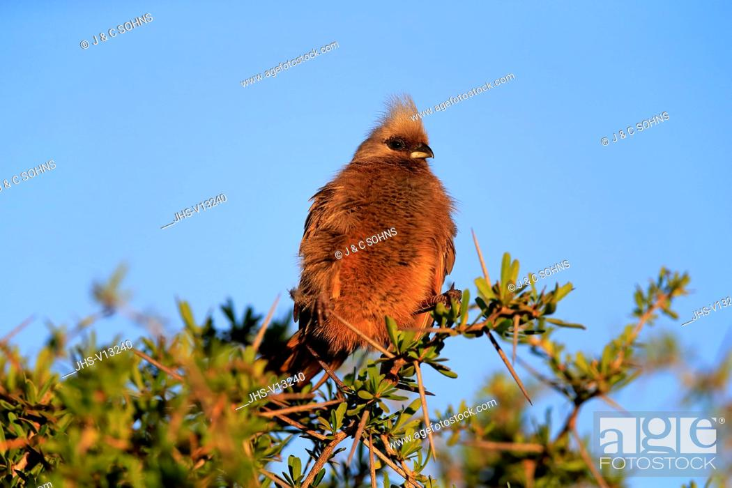 Stock Photo: Speckled Mousebird, (Colius striatus), adult on branch, Addo Elephant Nationalpark, Eastern Cape, South Africa, Africa.