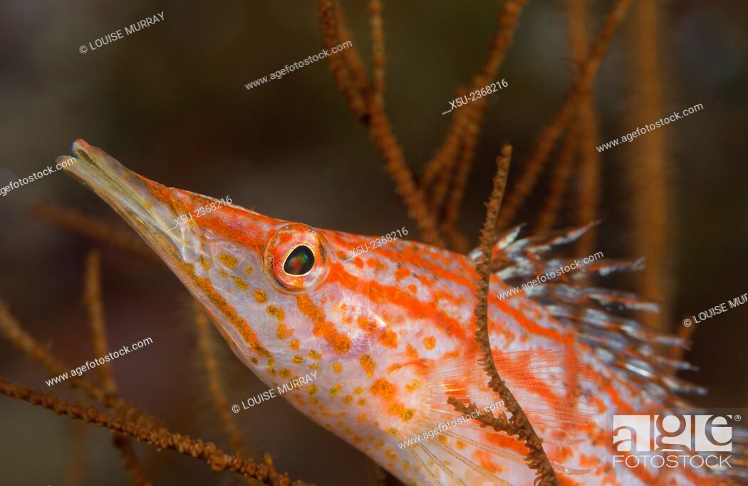 Stock Photo: Longnose hawkfish, Oxycirrhites typus, usually found in the branches of gorgonian sea fans and black coral.