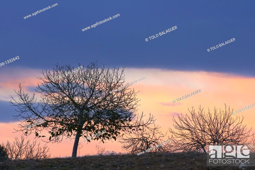 Stock Photo: Petra is planning Figs Balearic Islands Mallorca Spain.