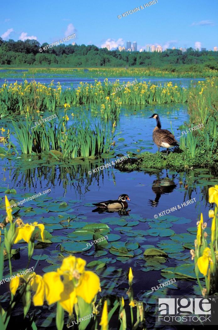 Stock Photo: tk0233, Thomas Kitchin, Wood Duck drake & Canada Goose surrounded by yellow irises. Spring. Burnaby Lake. Burnaby, British Columbia, Canada.