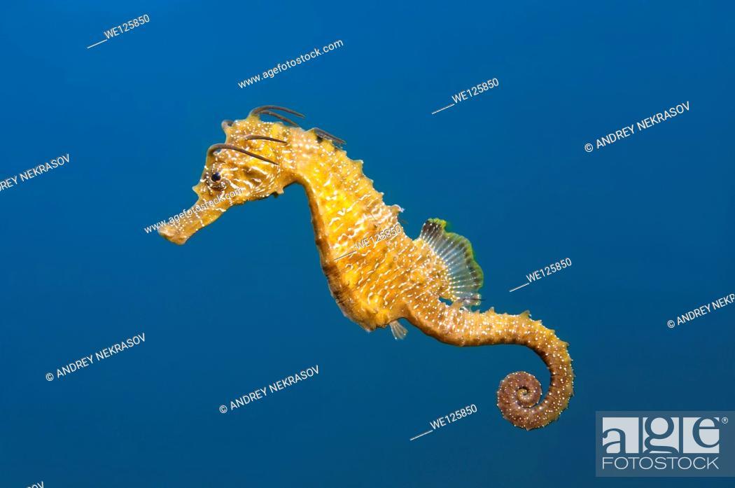 Stock Photo: Short-snouted seahorse (Hippocampus hippocampus) Black sea, Crimea, Ukraine, Eastern Europe.