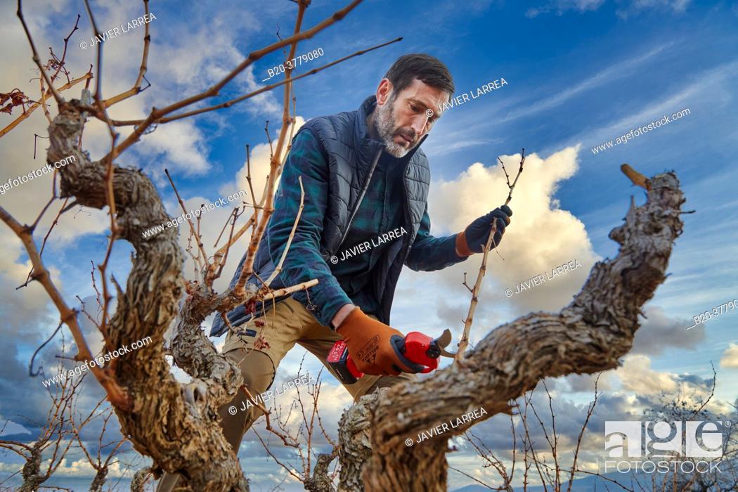 Stock Photo: Farmer with electric pruning shears, Vineyard, Rioja, Spain, Europe.