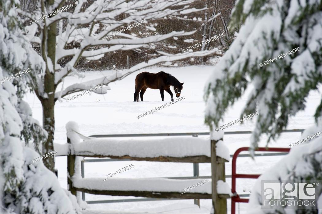 Stock Photo: Horse walking through snow covered field on a farm.