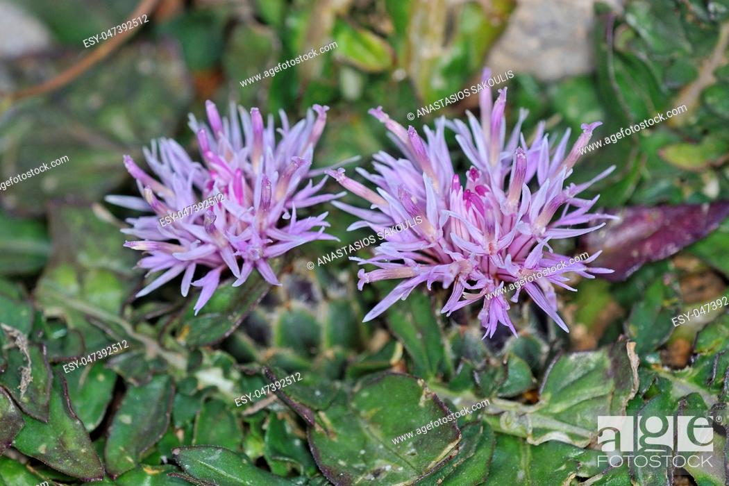 Stock Photo: Flower of Centaurea raphanina, Crete.