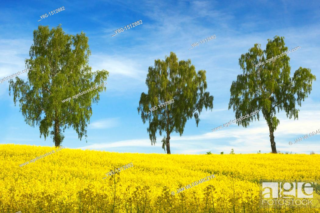 Stock Photo: Rape field near Olsztyn, Masuria Region, Poland, Europe.