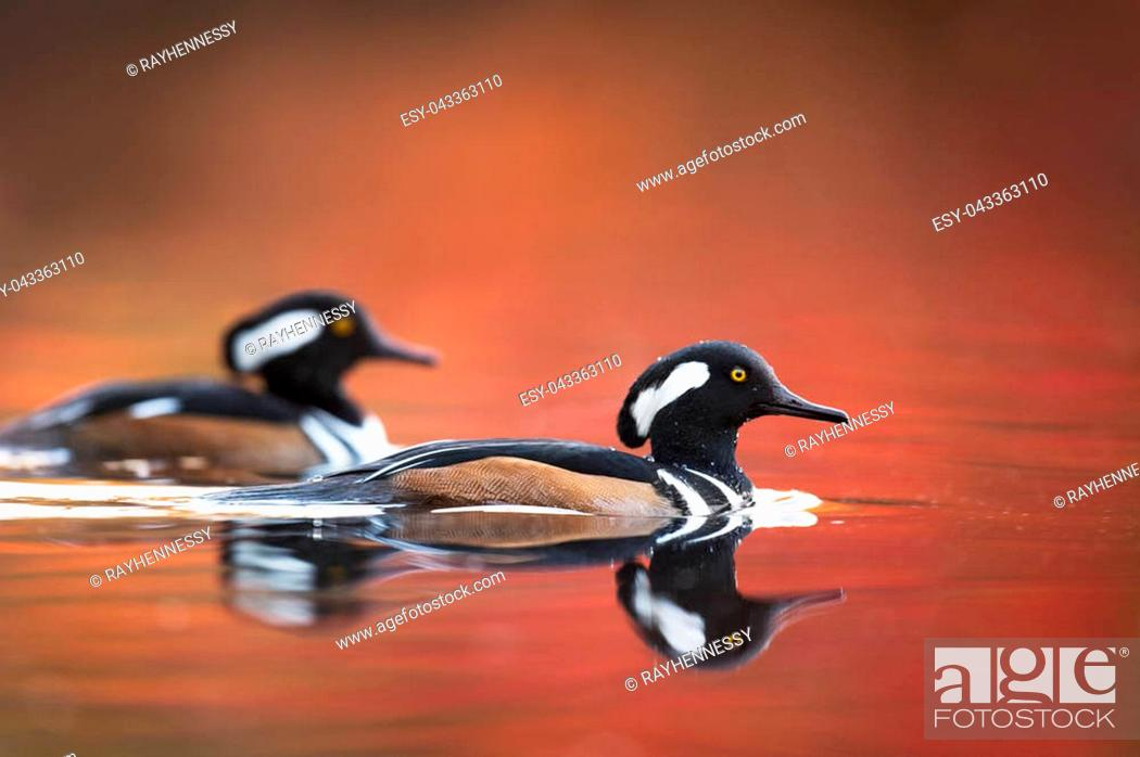 Stock Photo: A pair of male Hooded Mergansers swim on the red and orange water with autumn colors in the background in soft light.