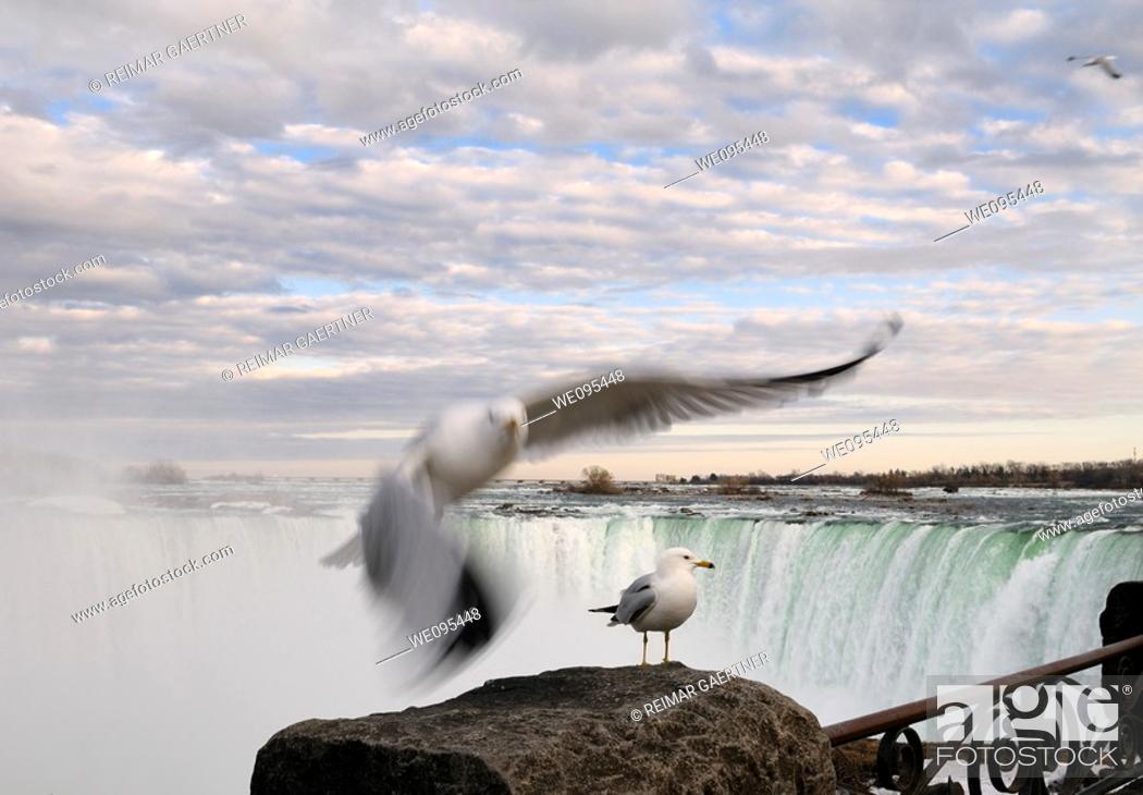 Stock Photo: Flying and standing Ring Billed Gull at a rock beside Niagara Falls Canada at sundown.