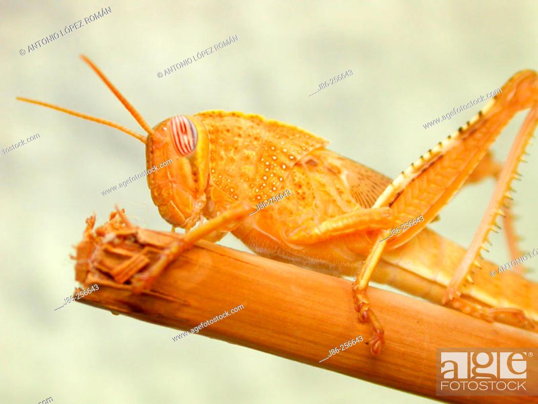 Stock Photo: Nymph of Anacridium aegyptium.
