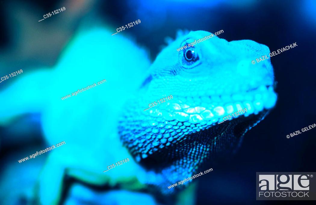 Stock Photo: Chinese Water Dragon (Physignathus cocincinus).