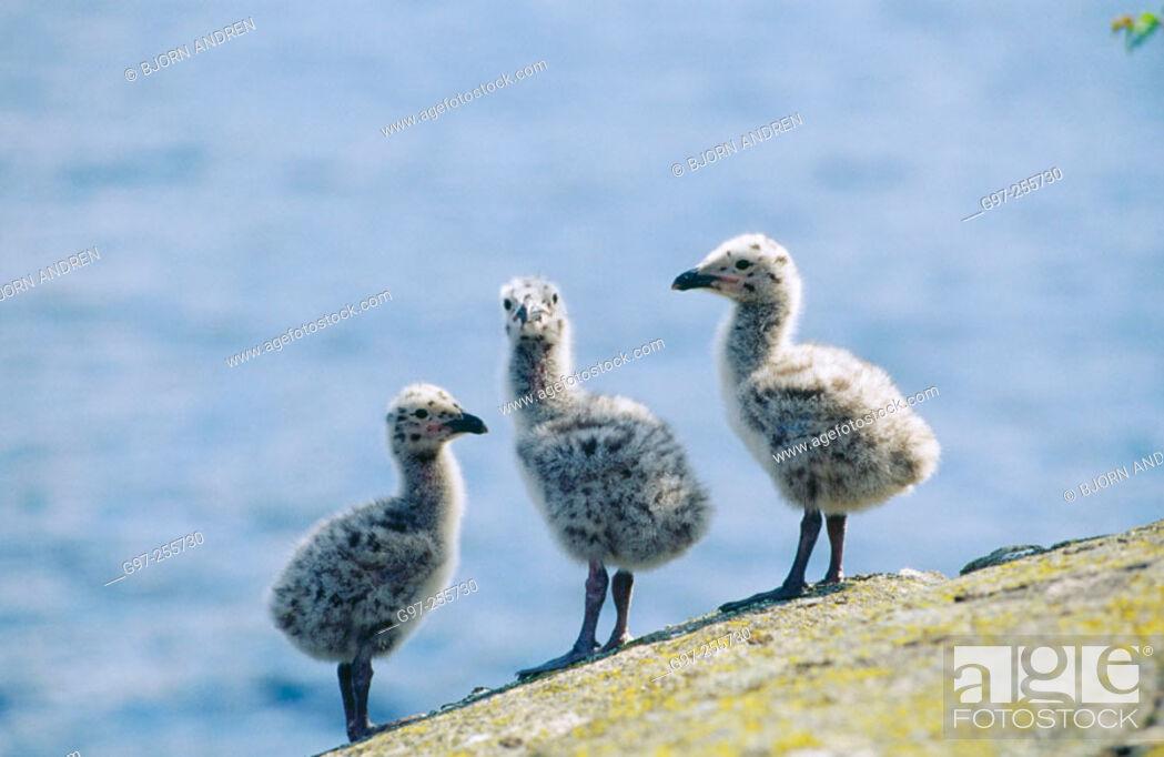 Stock Photo: Great Black-backed Gulls ducklings (Larus marinus).
