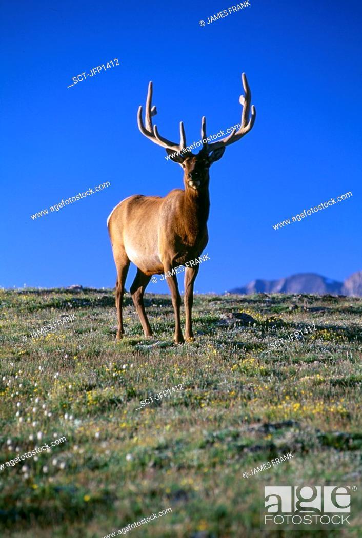 Stock Photo: Bull American elk (Cervus elaphus) standing on the tundra, Rocky Mtn Nat'l Park, CO.