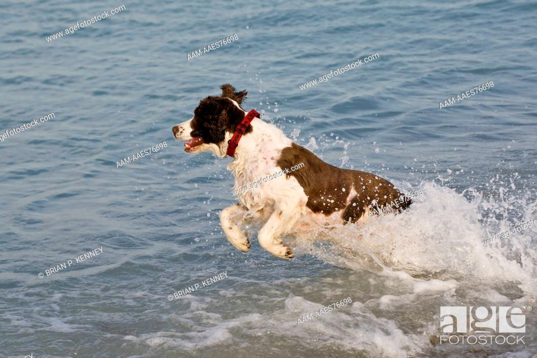 Stock Photo: English Springer Spaniel (Canis lupus familiaris) playing at the beach in southwest Florida. This Breed was developed in the 1600's to 'Spring' or Flush.