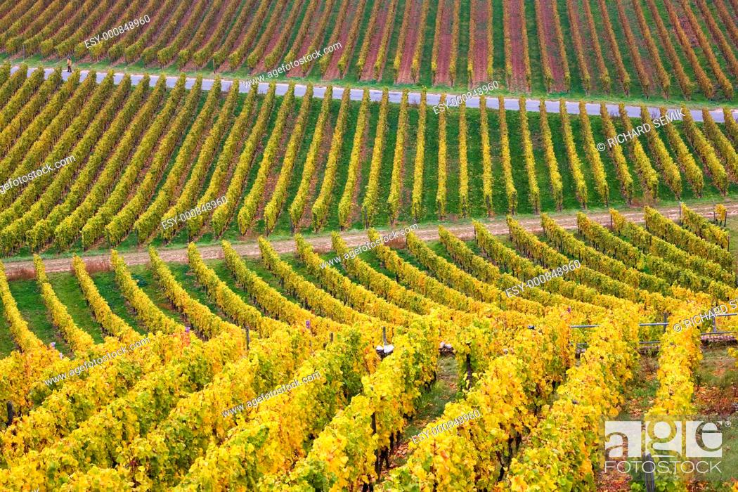 Stock Photo: vineyards near Johannisberg Palace, Hessen, Germany.