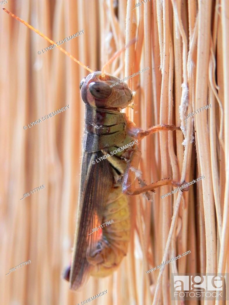 Stock Photo: Grashopper preparing to lay eggs  The grasshopper is perched on a broom, eating one of the broom straws.