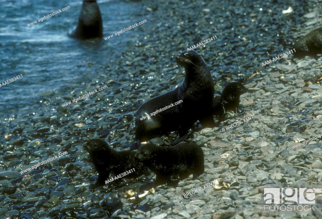 Stock Photo: Antarctic Fur Seals (Arctocephalus gazella), Antarctica.