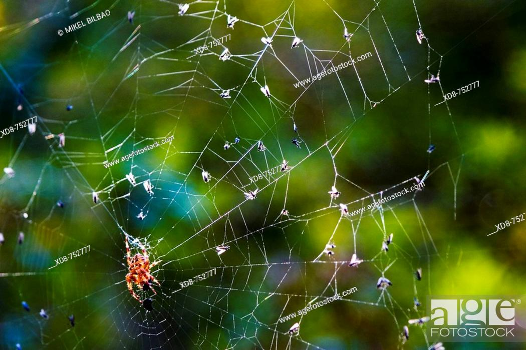 Stock Photo: European garden spider (Araneus diadematus) in its web with preys, Saja-Besaya Natural Park, Cabuerniga valley, Cantabria, Spain, Europe.