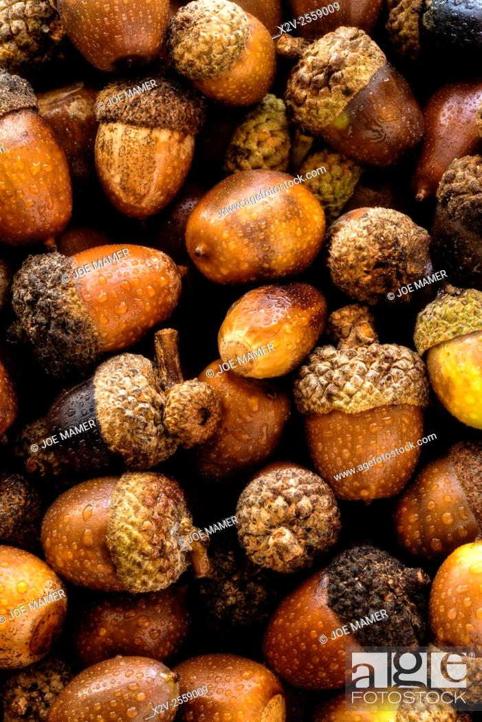 Photo de stock: Collection of acorns from a variety of oak trees.