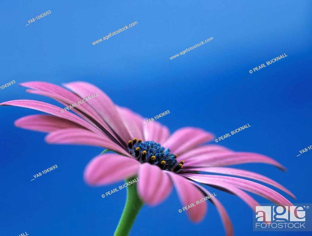 Stock Photo: OSTEOSPERMUM - LIGHT PURPLE 'OSJOTIS' Close-up of a flower in side view.