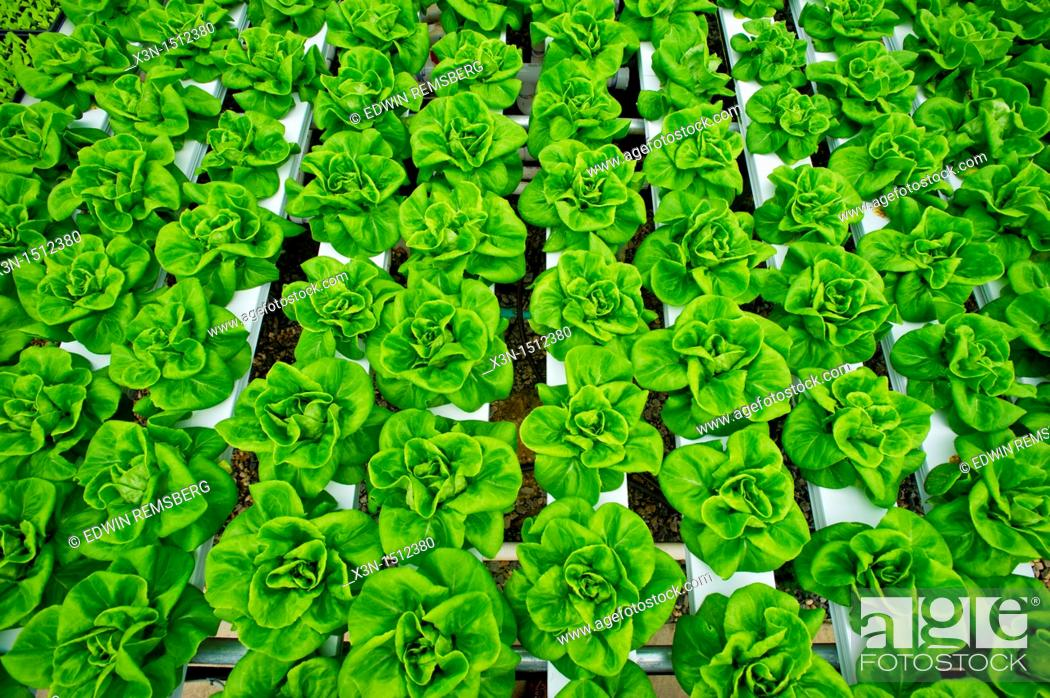 Stock Photo: Hydroponic lettuce rows in greenhouse.