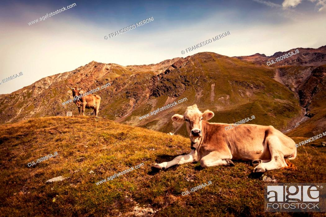 Stock Photo: Cow lying down on top of mountain.