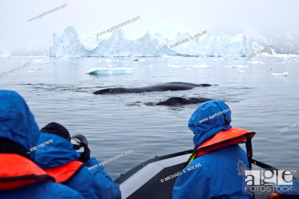 Imagen: Humpback whales Megaptera novaeangliae surfacing near Zodiac near the Antarctic Peninsula, Antarctica, Southern Ocean  MORE INFO Humpbacks feed only in summer.
