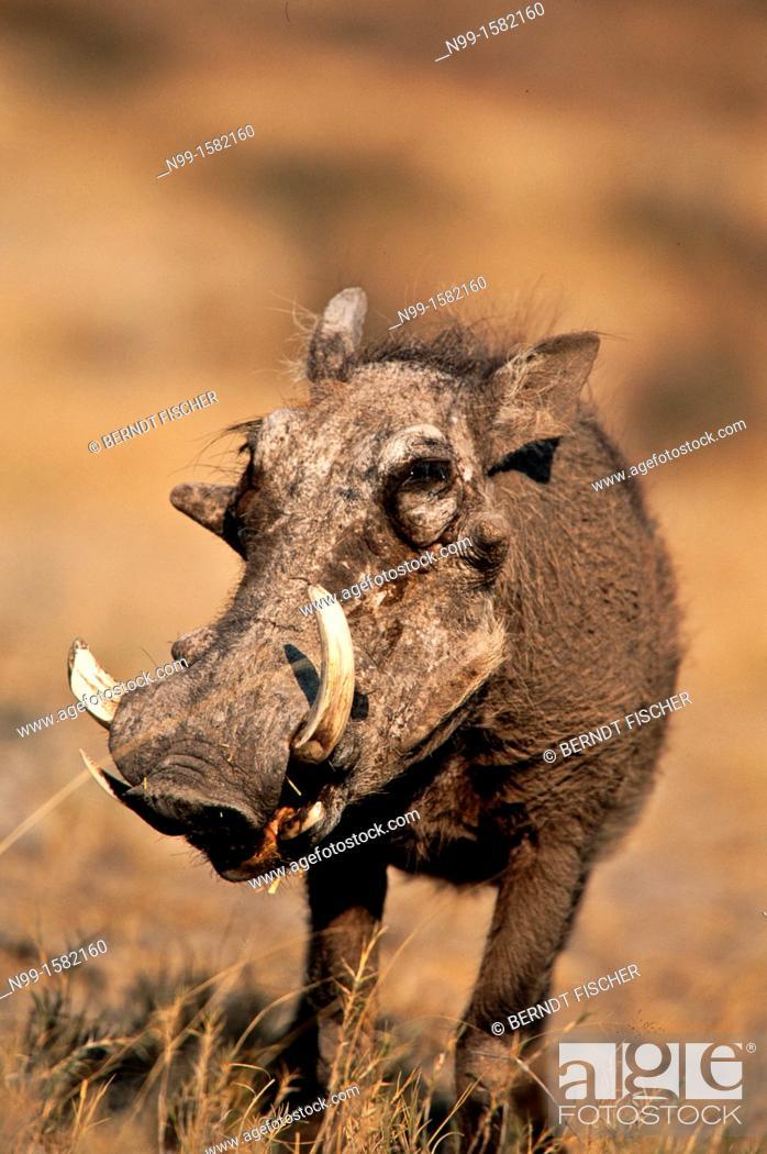 Stock Photo: Warthog Phacochoerus aethiopicus, dry grassland, Etosha National Park, Namibia.