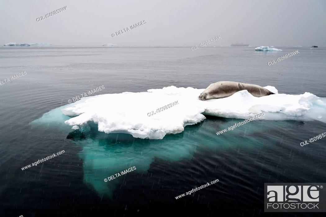 Imagen: Crabeater seal (Lobodon carcinophaga) on the ice, Wilhelmina Bay, Antarctica.
