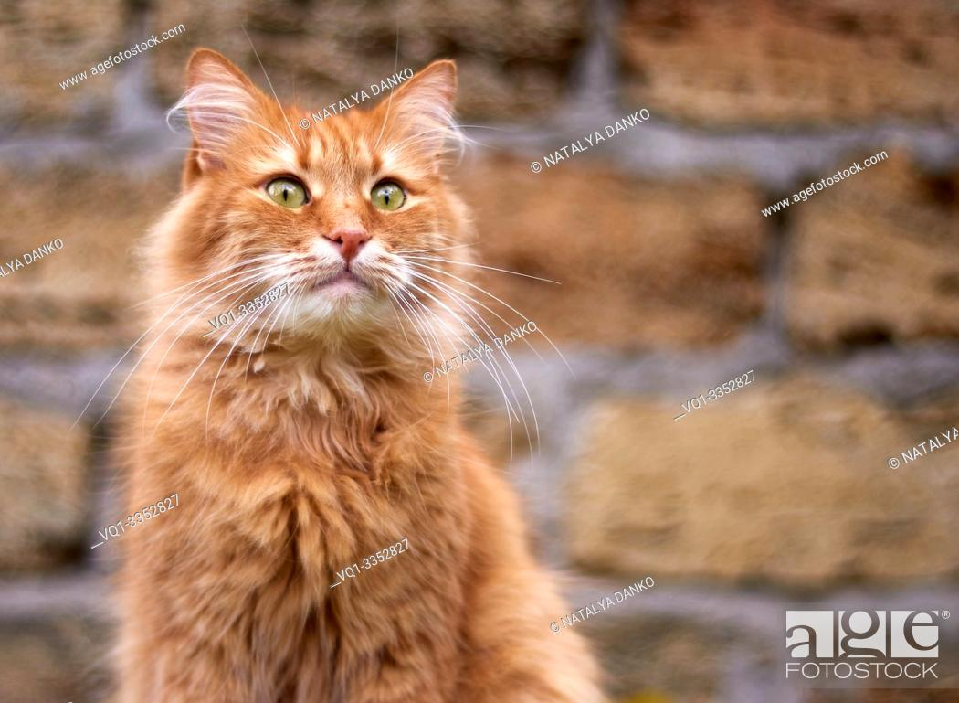 Stock Photo: portrait of an adult fluffy red cat with green eyes, copy space.