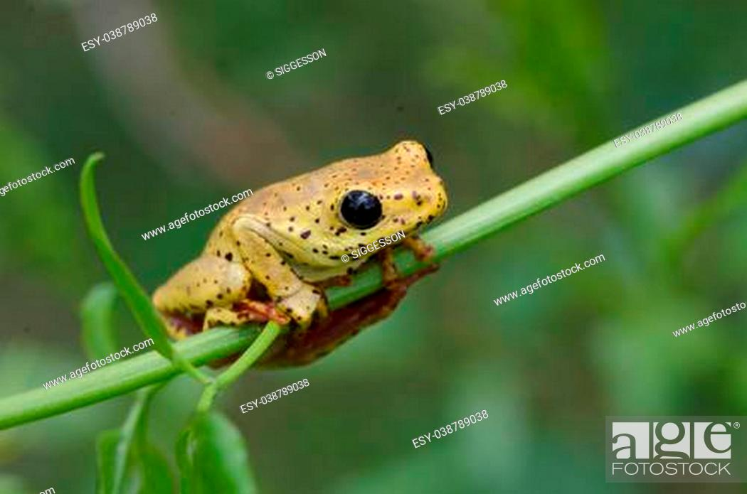 Stock Photo: Close-up of a yellow frog with big black eyes sitting on a leaf.
