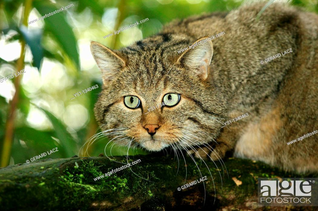 Stock Photo: EUROPEAN WILDCAT felis silvestris, PORTRAIT OF ADULT ON BRANCH.