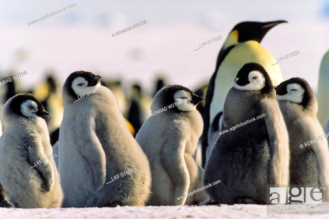Imagen: Emperor Penguin chicks, Aptenodytes forsteri, Weddell Sea, Antarctica.