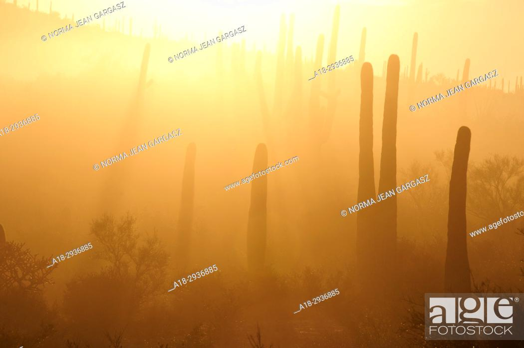 Stock Photo: Early morning fog descends up on the saguaro cactus in the foothills of the Tucson Mountains of the Sonoran Desert, Tucson, Arizona, USA.