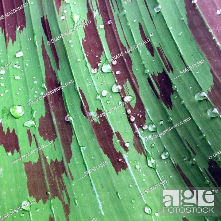 Stock Photo: Raindrops on a banana plant leaf.