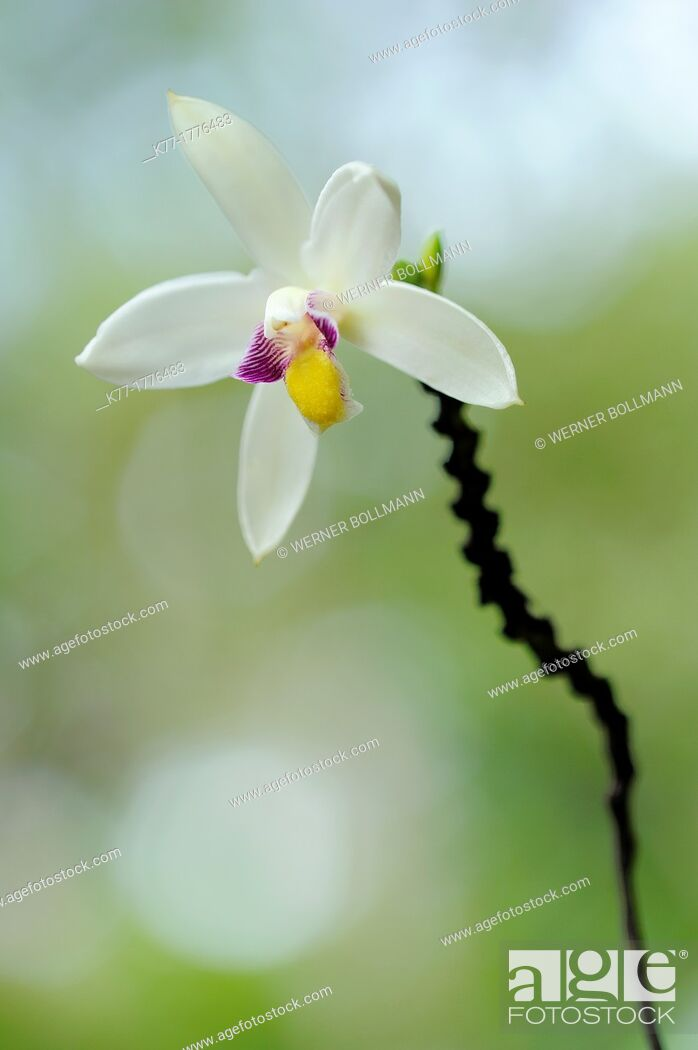 Stock Photo: Bromheadia finlaysoniana Orchid, Tanjung Puting National Park, Province Kalimantan, Borneo, Indonesia.