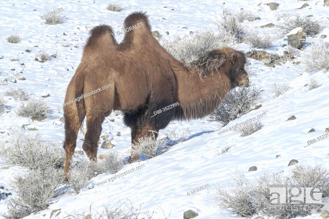 Stock Photo: Asie, Mongolie, Ouest de la Mongolie, Montagnes de l'Altai, Vallée avec neige et rochers, Chameaux de Bactriane dans la montagne / Asia, Mongolia, West Mongolia.