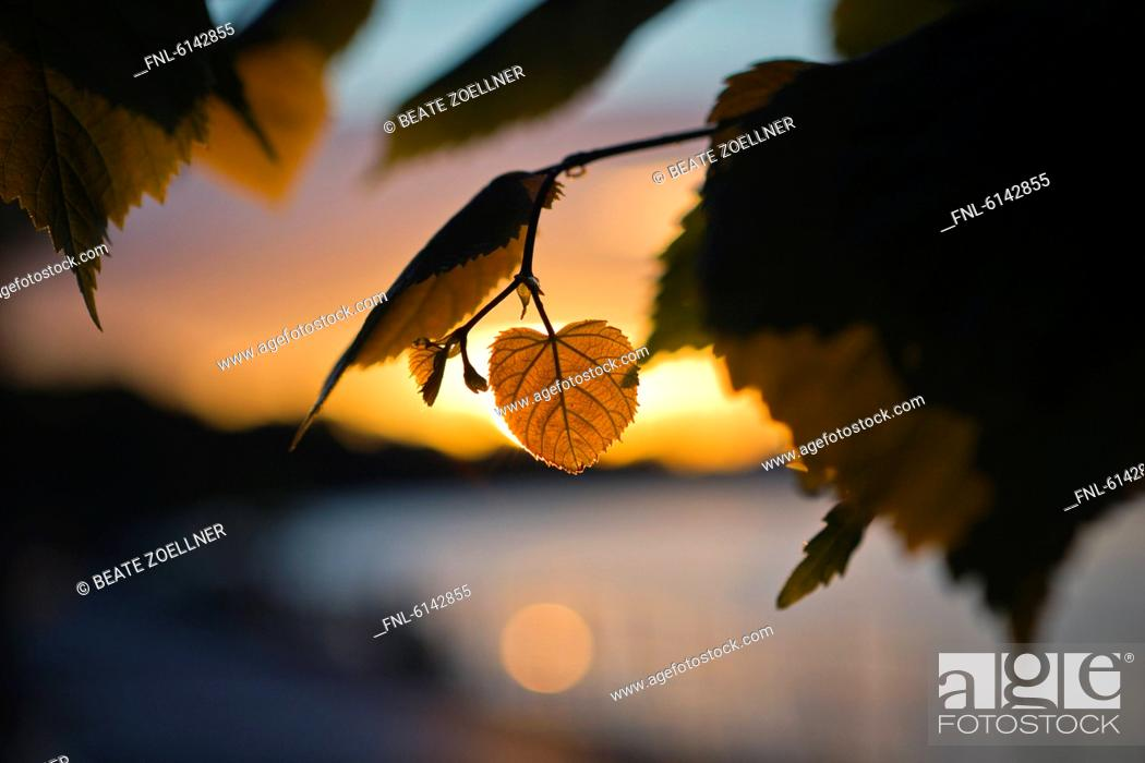 Stock Photo: Heart-shaped lime leaf at sunset.
