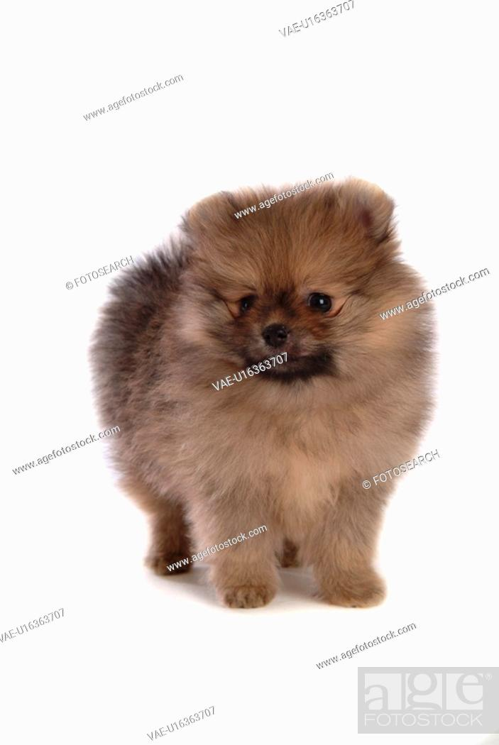 Stock Photo: faithful, domestic animal, companion, canine, close up, pomeranian.