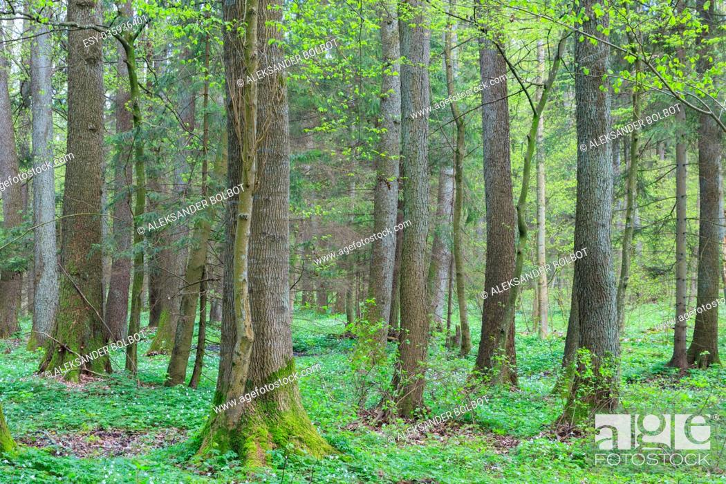 Stock Photo: Old alder trees in spring with broken one in foreground, Bialowieza Forest, Poland, Europe.