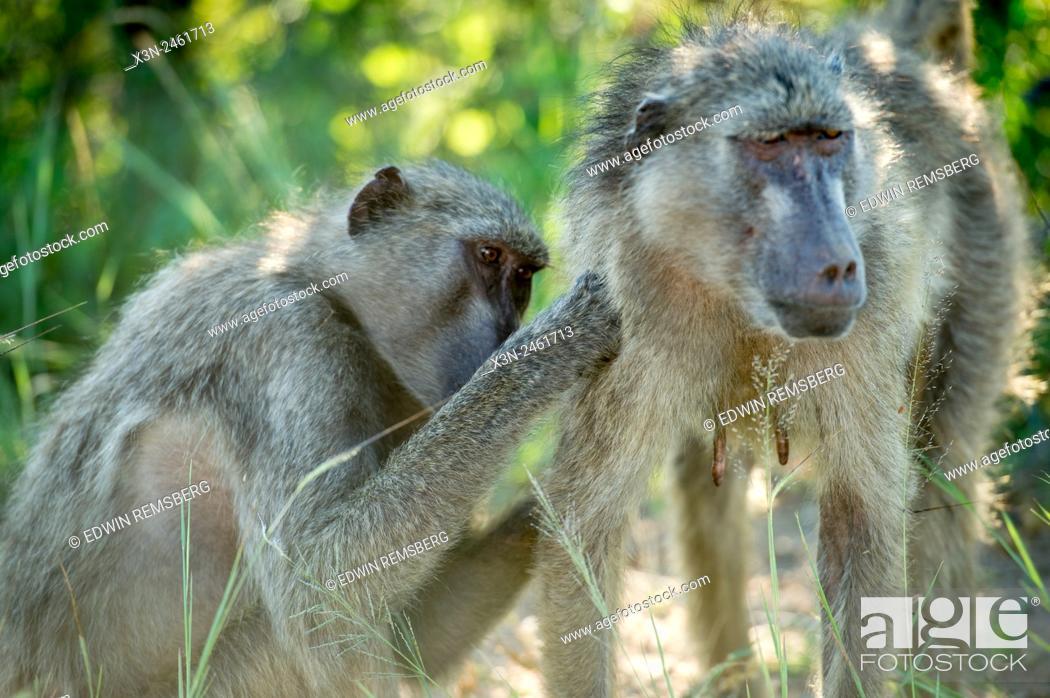 Photo de stock: SOUTH AFRICA- Kruger National Park.