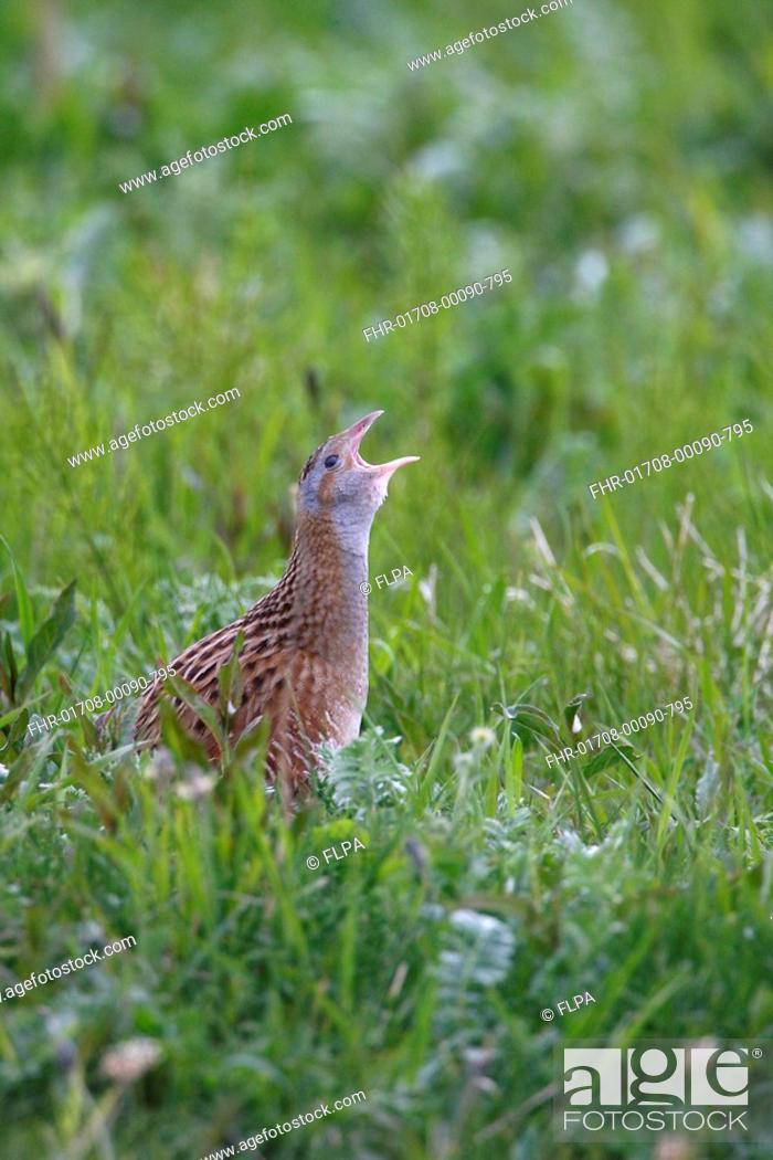 Stock Photo: Corncrake Crex crex adult, calling, standing in vegetation, North Uist, Outer Hebrides, Scotland.