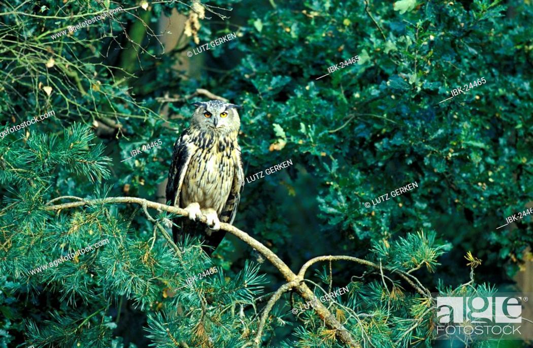 Stock Photo: Eagle owl.