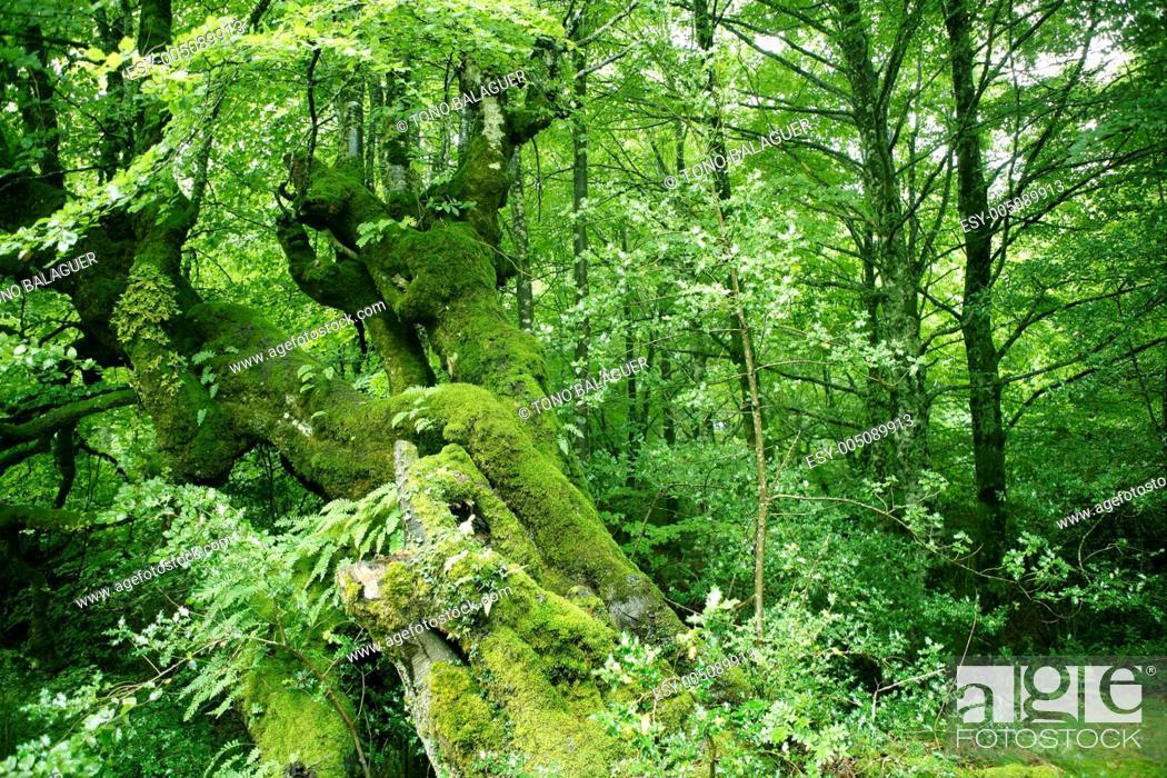 Stock Photo: Beech green magic forest woods.