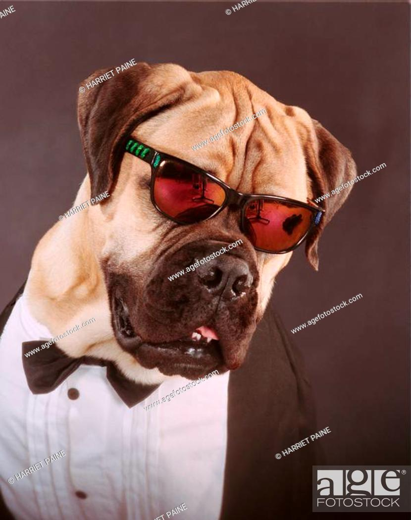 Stock Photo: Mastiff.